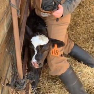 How To Tag A Calf